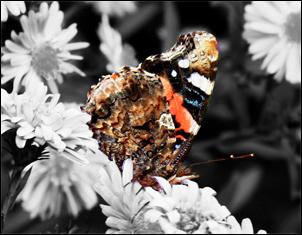 Papillon desature